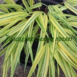 Hakonechloa macra  - сорт AUREOLA (Хаконехлоа, Японска плачеща трева), Poaceae